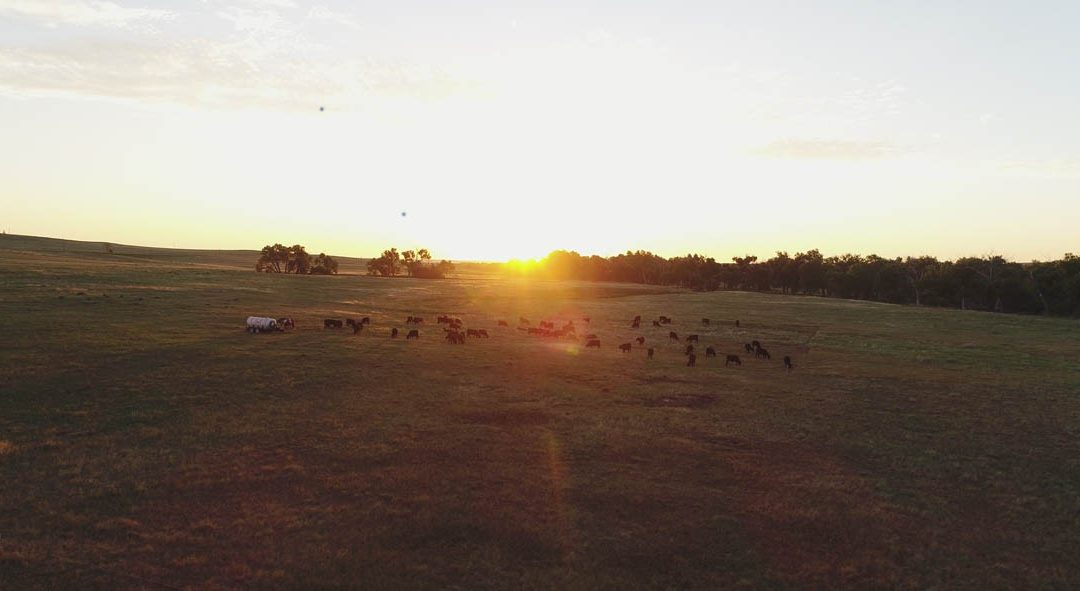 pasture in morning with cattle