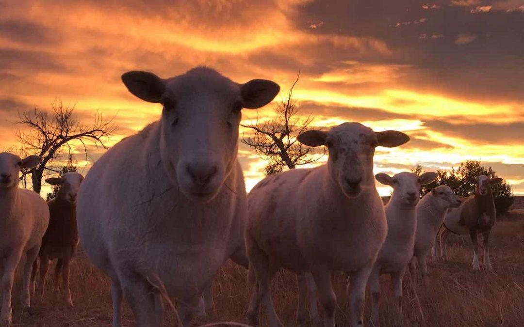 Grass Fed Lamb