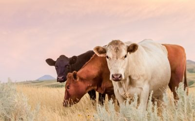 Regenerative Grazing Grass Fed Beef – Why Does it Matter?