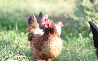 What Does it Mean to Have Pastured Chickens?
