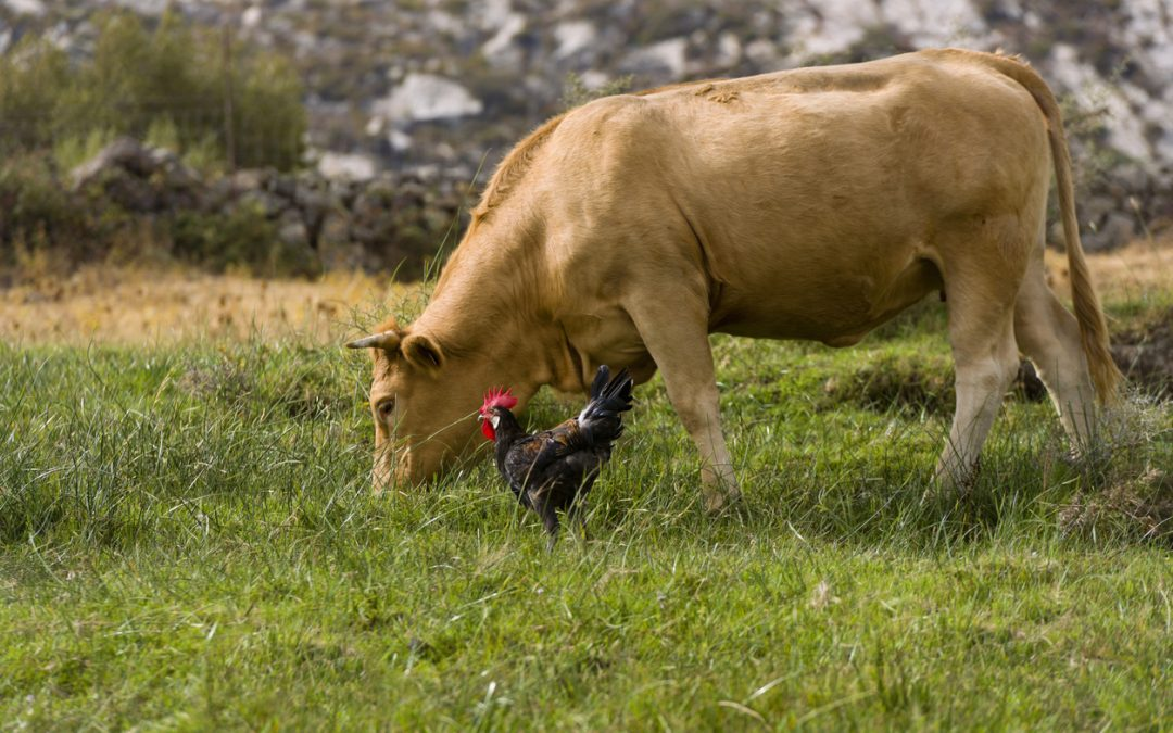 Grazing cow and a rooster. Beef Terroir concept.