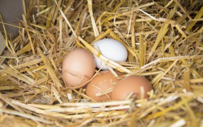 Pasture Raised Eggs are Better for You Guaranteed