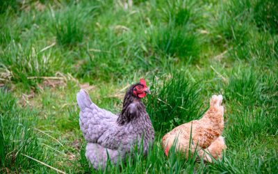 Benefits of Organic Pasture Raised Chicken