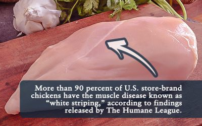 White Striping Disease Found in More Than 90 Percent of US Store-Brand Chickens, Study Finds